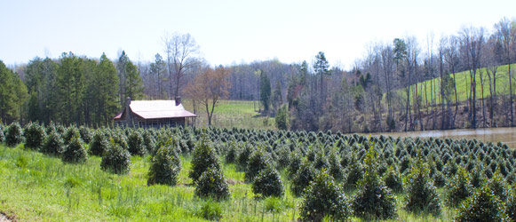 North American's Tree Farm - Pictures By Calvin Bryant
